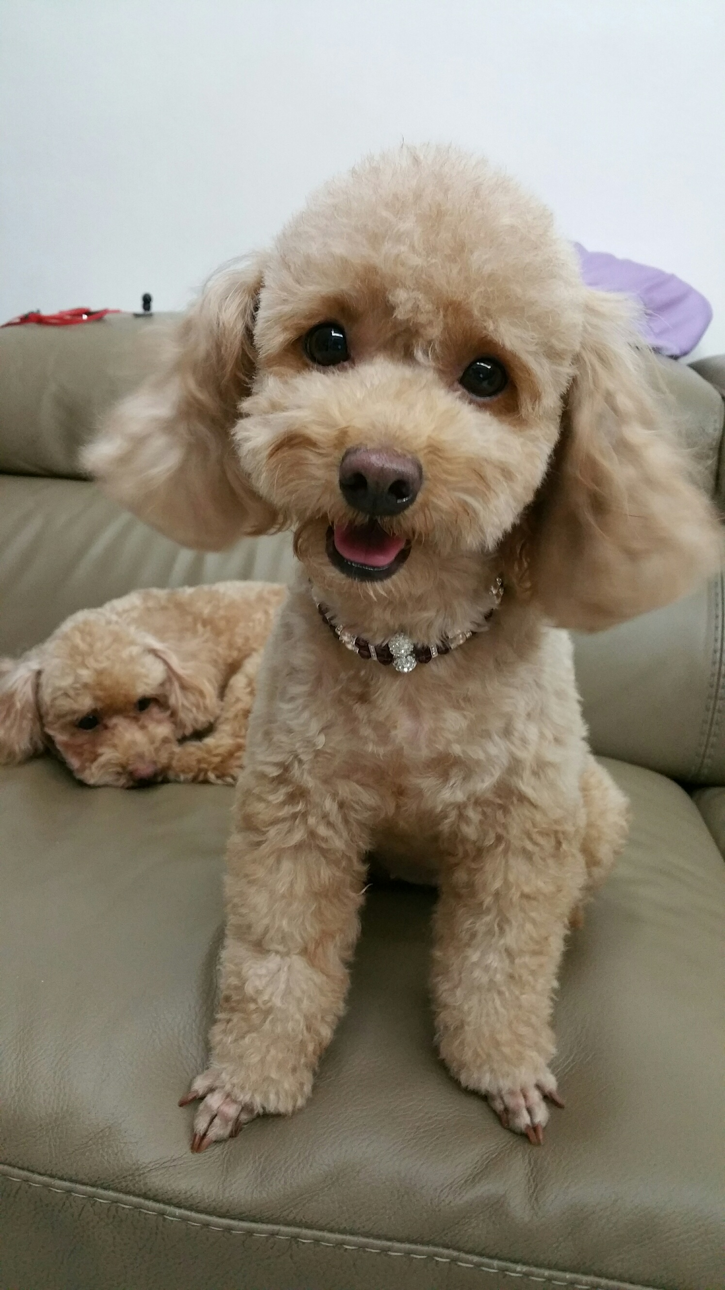 Have You Seen Belle A Missing Toy Poodle Lost At Ang Mo Kio Www