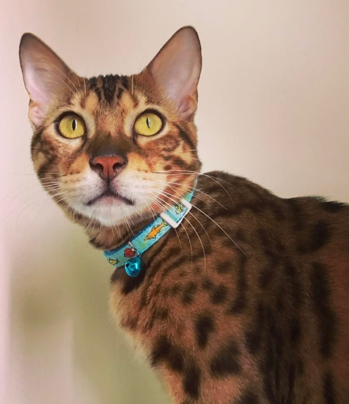 bengal cat colors change for no good