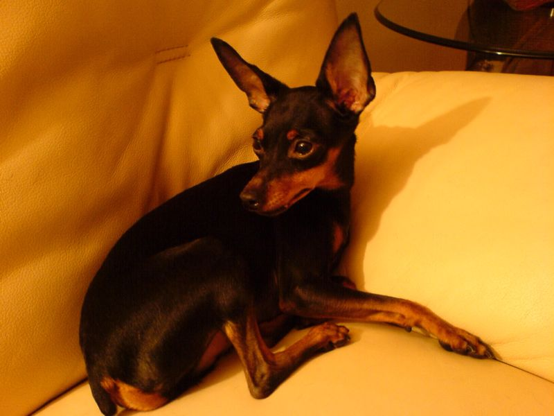 Have you seen 'Ray', a Missing Miniature Pinscher Lost at